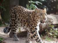 c%20bigcat%20Amur%20leopard%20A01_002_10-09-18