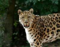 c%20bigcat%20Amur%20leopard%20A02_006_10-09-18