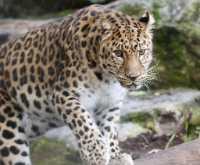zoo%20Amur%20Leopard%20A01_002_15-09-17
