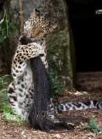 zoo%20Amur%20leopard%20f%20A02_005_08-07-19