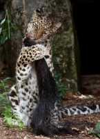 zoo%20Amur%20leopard%20f%20A02_006_08-07-19
