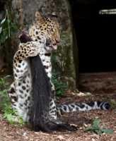 zoo%20Amur%20leopard%20f%20A02_007_08-07-19