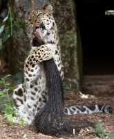 zoo%20Amur%20leopard%20f%20A02_015_08-07-19