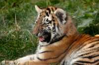zoo%20Amur%20tiger%20j%20A02_030_18-10-18
