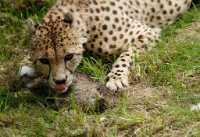 zoo%20Cheetah%20and%20prey%20A%207DII_039_07-07-16