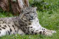 zoo%20Snow%20Leopard%20A01_001_15-09-17