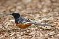 c%20birds%20Long%20Tailed%20Bird%20B02_002_10-09-18