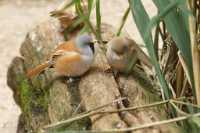 c%20birds%20bearded%20Reedlings%20p%20A01_001_10-09-18