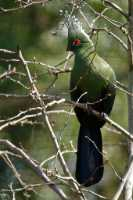 zoo%20brd%20Schalows%20turaco%20A_001_13-03-17
