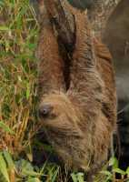 capan%20Linnes%20two-toed%20sloth%20A01_017_10-09-18