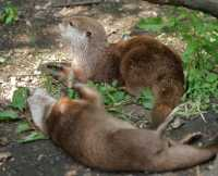 zoo%20A%20small-clawed%20otter%201A01_001_08-07-19