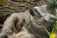 zoo%20Bat-eared%20fox%20A%207DII_002_07-07-16