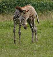zoo%20Grevys%20foal%20A%207DII_006_07-07-16