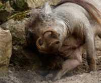 zoo%20Warthog%20A%207DII_030_07-07-16