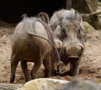 zoo%20Warthog%20A%207DII_033_07-07-16