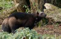 zoo%20Wolverine%20A01_006_18-10-18