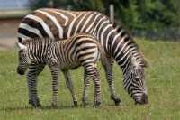 zoo%20zebra%20foal%20A01_003_08-07-19