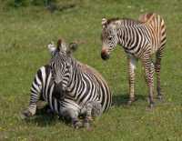 zoo%20zebra%20foal%20A01_014_08-07-19