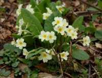 flora%20Primrose%20A01_001_17-04-18