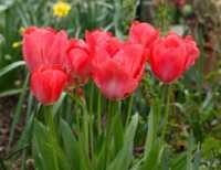 flora%20Tulip%20A01_003_17-04-18