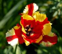 flora%20tulip%20H01_001_20-04-19