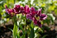 flora%20tulip%20K01_001_20-04-19