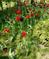 flora%20tulip%20Q01_001_20-04-19