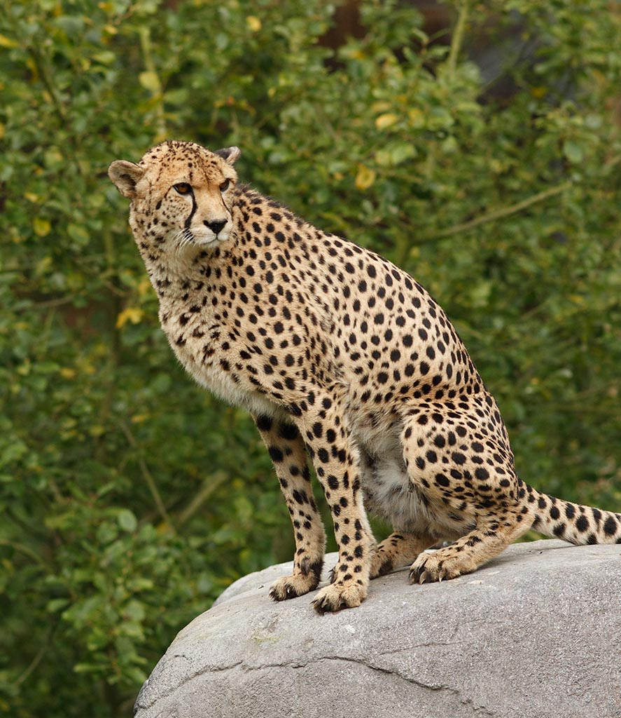 IMAGE: http://www.ware.myzen.co.uk/GalleryPics/Photos/Captive%20Animals/Big%20Cats/cap%20an%20Cheetah_008_13-09-11.jpg