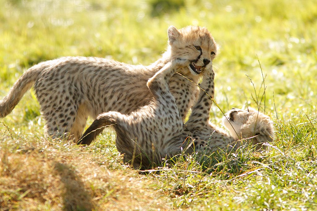 IMAGE: http://www.ware.myzen.co.uk/GalleryPics/Photos/Captive%20Animals/Big%20Cats/cap%20an%20bc%20Cheetah%20cubs%20C_138_13-09-12.jpg