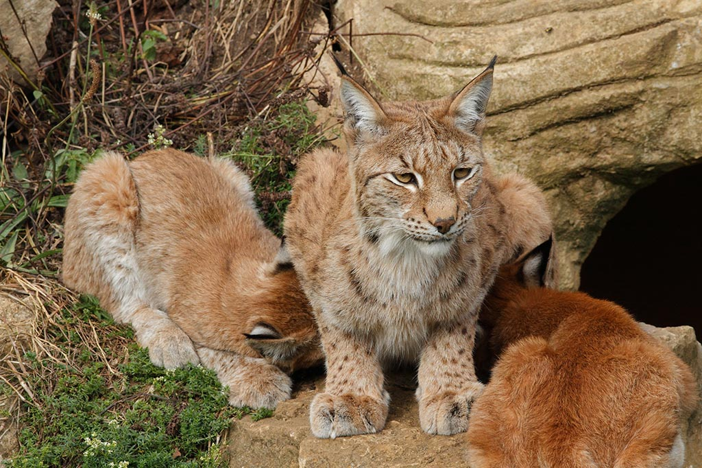 IMAGE: http://www.ware.myzen.co.uk/GalleryPics/Photos/Captive%20Animals/Big%20Cats/cap%20an%20bc%20Lynx%20kit%20mum%20D_058_13-09-12.jpg