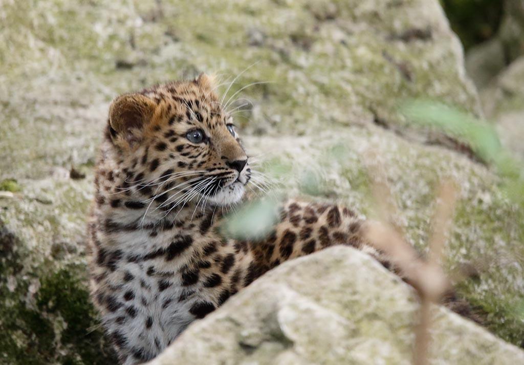 IMAGE: http://www.ware.myzen.co.uk/GalleryPics/Photos/Captive%20Animals/Big%20Cats/zoo%206D%20Amur%20Leopard%20j%20B_14-09-10_007.jpg