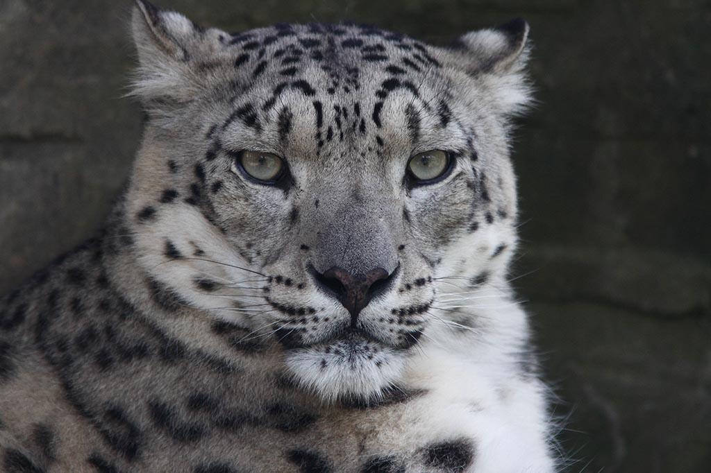 IMAGE: http://www.ware.myzen.co.uk/GalleryPics/Photos/Captive%20Animals/Big%20Cats/zoo%207D%20Snow%20Leopard%20B_001_09-06-14.jpg