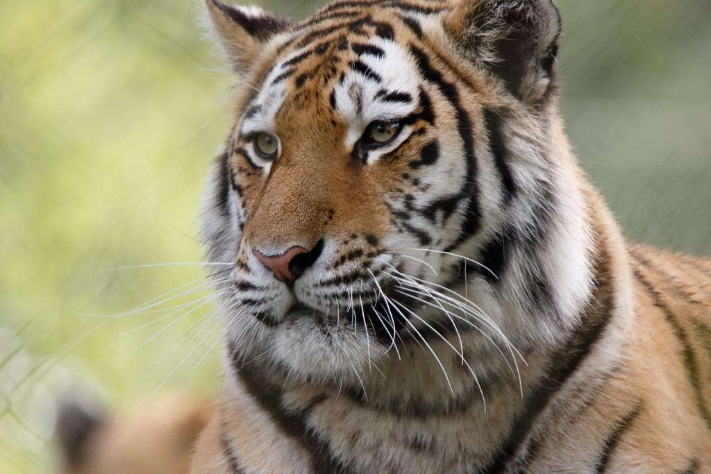 IMAGE: http://www.ware.myzen.co.uk/GalleryPics/Photos/Captive%20Animals/Big%20Cats/zoo%20Amur%20Tiger%20A01_006_15-09-17.jpg