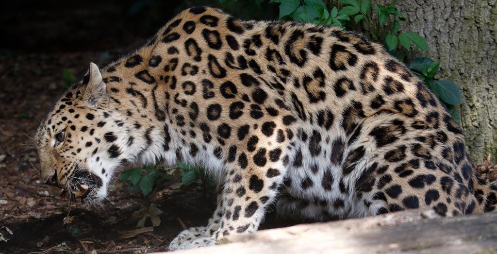 IMAGE: http://www.ware.myzen.co.uk/GalleryPics/Photos/Captive%20Animals/Big%20Cats/zoo%20Amur%20leopard%20f%20A01_001_08-07-19.jpg
