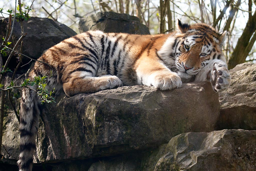 IMAGE: http://www.ware.myzen.co.uk/GalleryPics/Photos/Captive%20Animals/Big%20Cats/zoo%20Tiger%20H_008_13-03-17.jpg