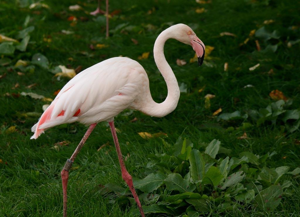 IMAGE: http://www.ware.myzen.co.uk/GalleryPics/Photos/Captive%20Animals/Birds/c%20birds%20Greater%20Flamingo%20B01_006_10-09-18.jpg