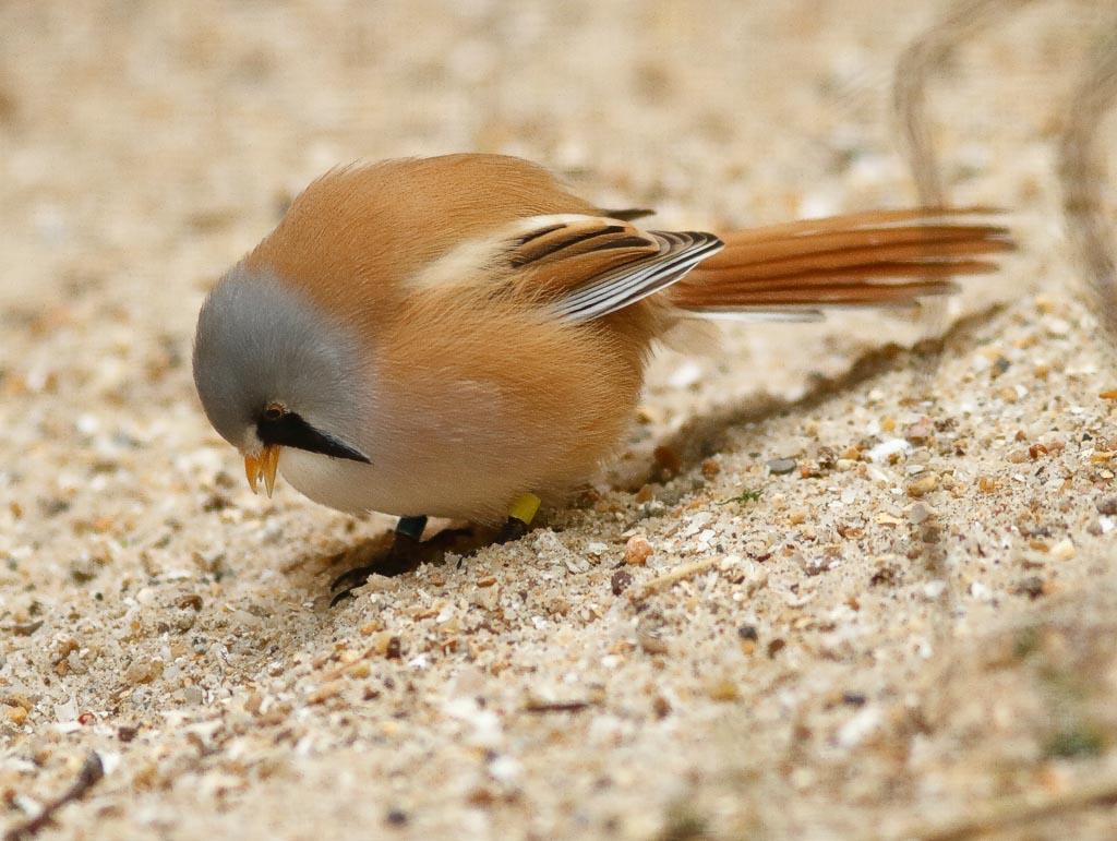 IMAGE: http://www.ware.myzen.co.uk/GalleryPics/Photos/Captive%20Animals/Birds/c%20birds%20bearded%20Reedlings%20m%20A03_005_10-09-18.jpg