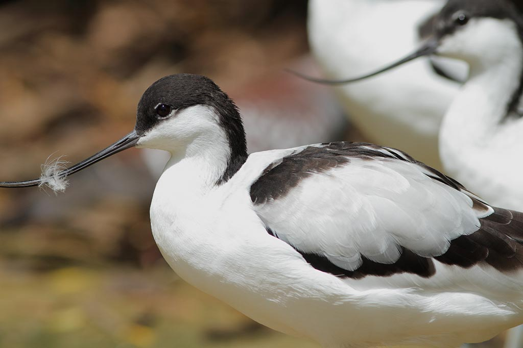 IMAGE: http://www.ware.myzen.co.uk/GalleryPics/Photos/Captive%20Animals/Birds/zoo%207D%20Avocet%20A_001_09-06-14.jpg