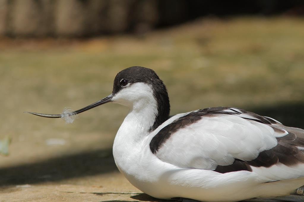 IMAGE: http://www.ware.myzen.co.uk/GalleryPics/Photos/Captive%20Animals/Birds/zoo%207D%20Avocet%20A_002_09-06-14.jpg