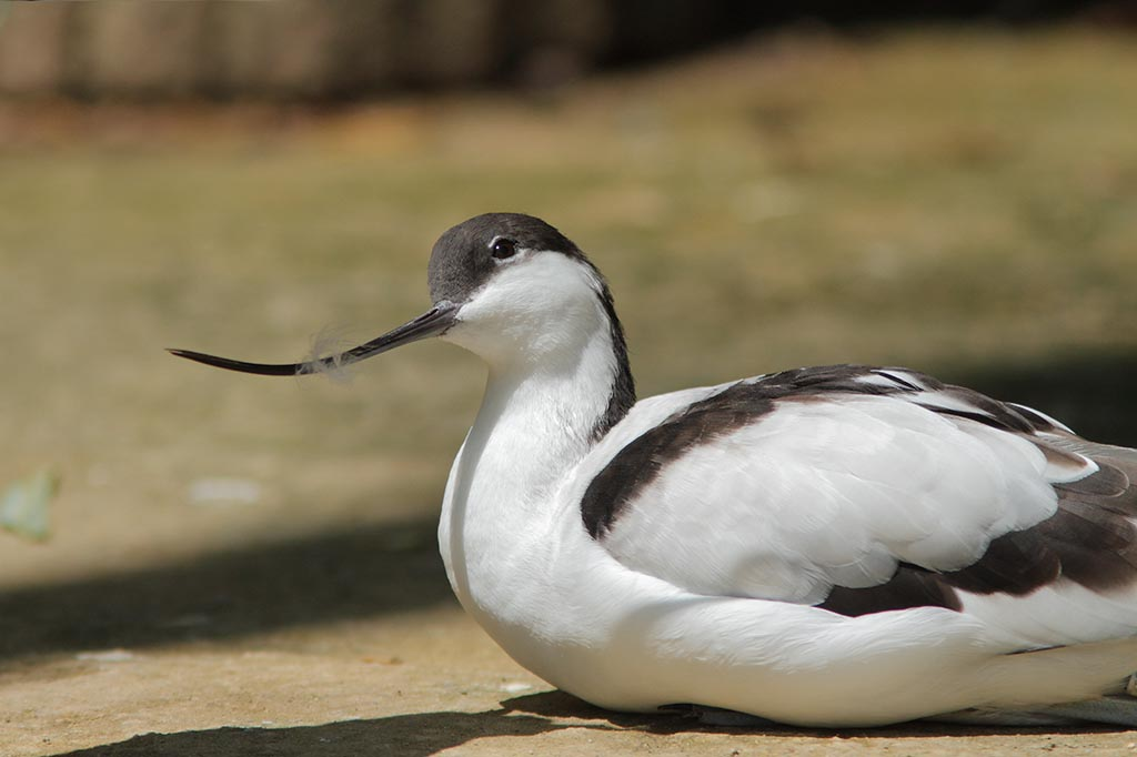 IMAGE: http://www.ware.myzen.co.uk/GalleryPics/Photos/Captive%20Animals/Birds/zoo%207D%20Avocet%20A_003_09-06-14.jpg