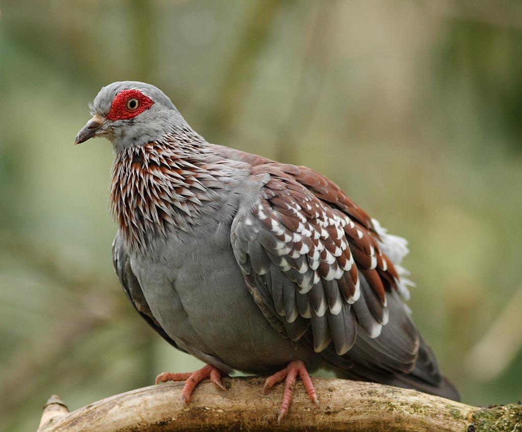 IMAGE: http://www.ware.myzen.co.uk/GalleryPics/Photos/Captive%20Animals/Birds/zoo%20African%20Rock%20Pigeon%20A_004_23-09-13.jpg