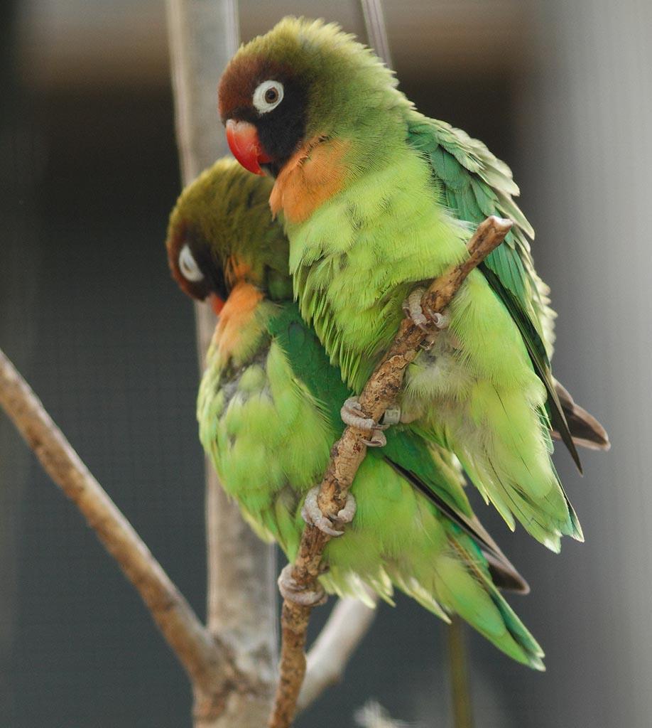 IMAGE: http://www.ware.myzen.co.uk/GalleryPics/Photos/Captive%20Animals/Birds/zoo%20Black-cheeked%20Lovebird%20A_001_23-09-13.jpg