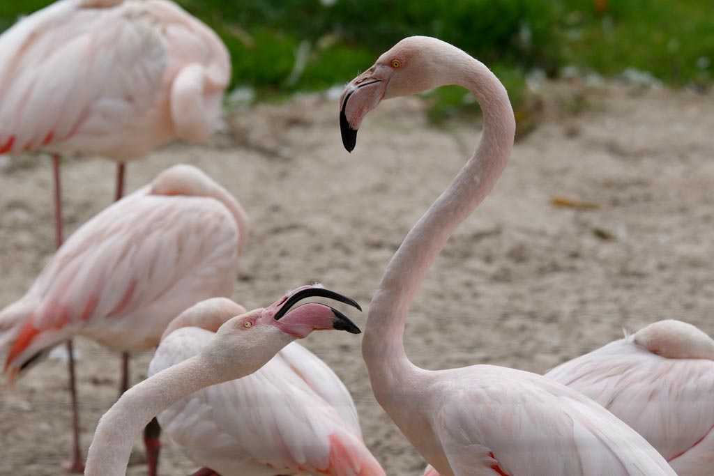 zoo Greater Flamingo A01_003_15-09-17.jpg