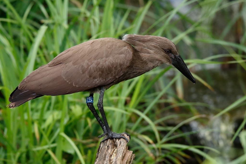 IMAGE: http://www.ware.myzen.co.uk/GalleryPics/Photos/Captive%20Animals/Birds/zoo%20Hamerkop%20A01_006_15-09-17.jpg
