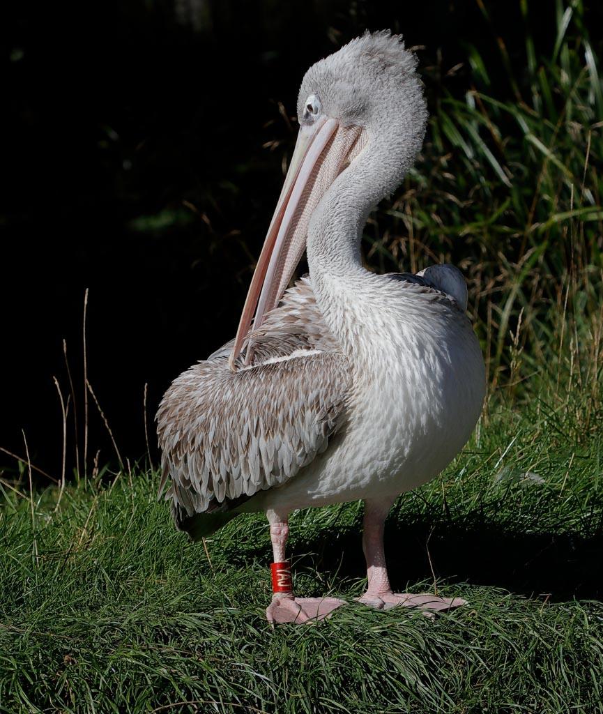 IMAGE: http://www.ware.myzen.co.uk/GalleryPics/Photos/Captive%20Animals/Birds/zoo%20Pink%20B%20Pelican%20B01_004_19-09-19.jpg