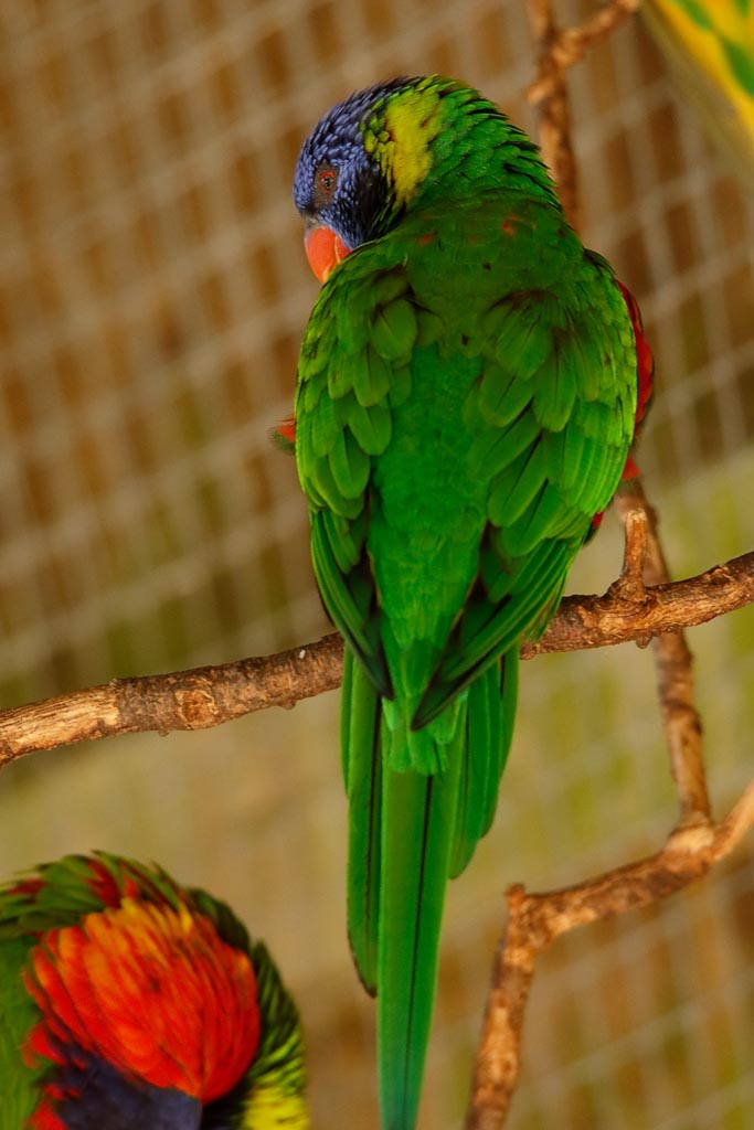 IMAGE: http://www.ware.myzen.co.uk/GalleryPics/Photos/Captive%20Animals/Birds/zoo%20Rainbow%20Lorikeet%20A01_005_19-09-19.jpg