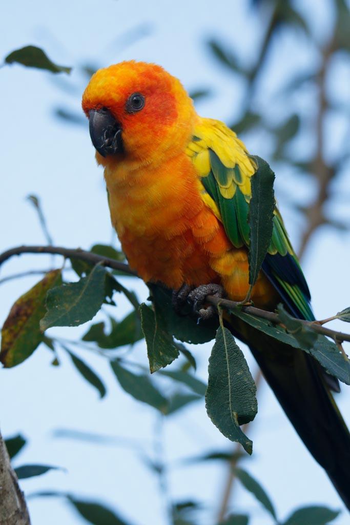 IMAGE: http://www.ware.myzen.co.uk/GalleryPics/Photos/Captive%20Animals/Birds/zoo%20Sun%20conure%20A01_004_15-09-17.jpg