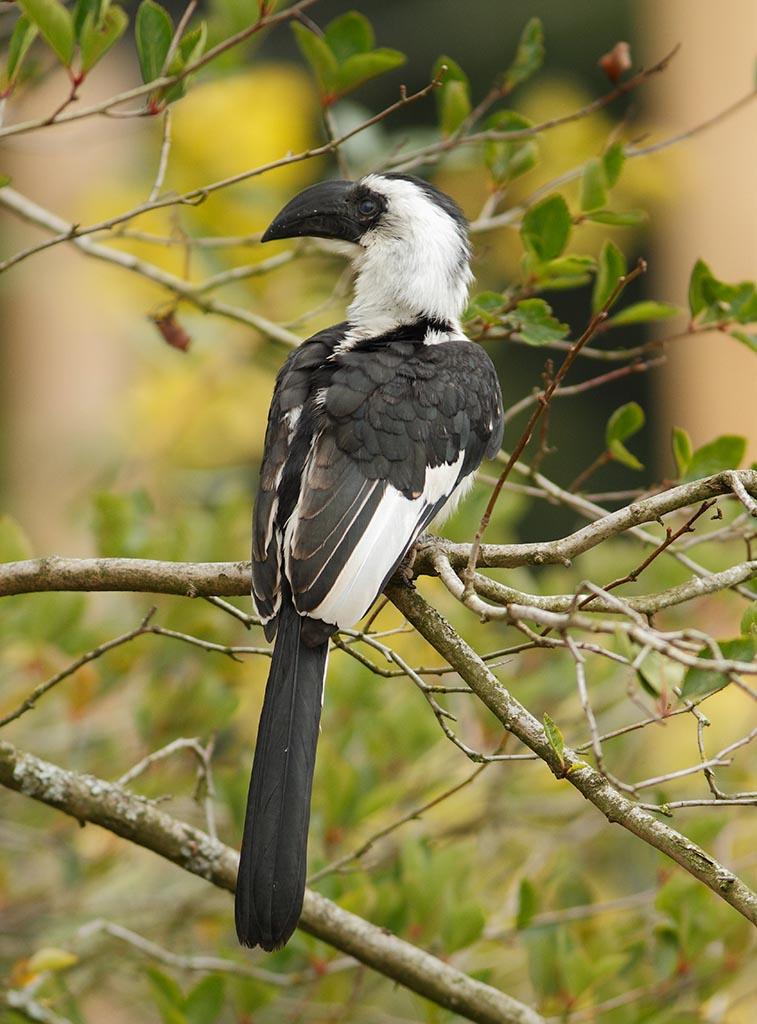 IMAGE: http://www.ware.myzen.co.uk/GalleryPics/Photos/Captive%20Animals/Birds/zoo%20Von%20der%20Deckens%20Hornbill%20A_012_23-09-13.jpg