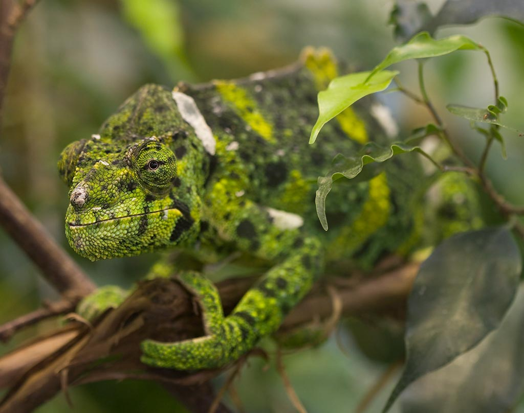 IMAGE: http://www.ware.myzen.co.uk/GalleryPics/Photos/Captive%20Animals/Captive%20Animals%20Meller's%20Chameleon%20014%20010908.jpg