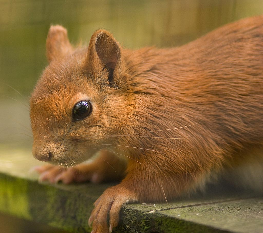 IMAGE: http://www.ware.myzen.co.uk/GalleryPics/Photos/Captive%20Animals/Captive%20Red%20Squirrel%20C%20002%20280708.jpg